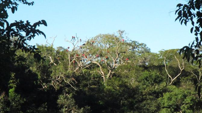 árvore de araras